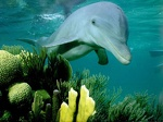 Dolphin on coral reef 1024