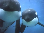 two killer whales 1024