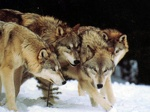 1024x768 wolf pack wallpaper