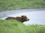 Peaceful Moment Brown Bear Alaska