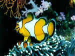 Clownfish in coral reef 1024
