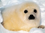 baby seal 1024