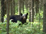spotted a black bear 1024